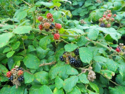 Note about Blackberries - I eat them Red or Black but tend to find the soft/squidgy Black ones the sweetest and my favourite stage of ripeness.