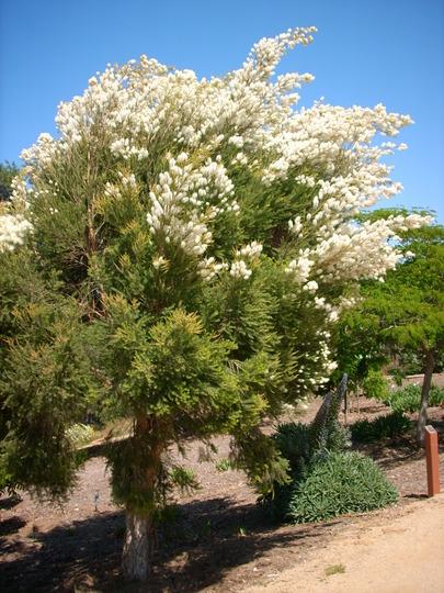 melaleuca-alternifolia-tea_tree