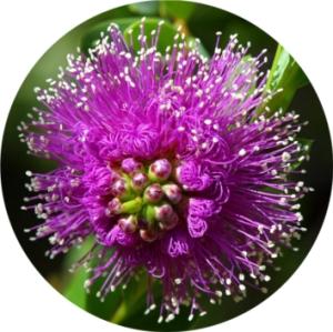 PassionFlower-Pasiflora-2