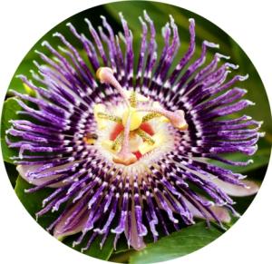 PassionFlower-Pasiflora-3