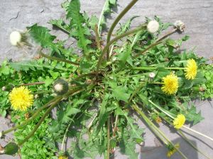 Edible Weeds Dandelion Plant