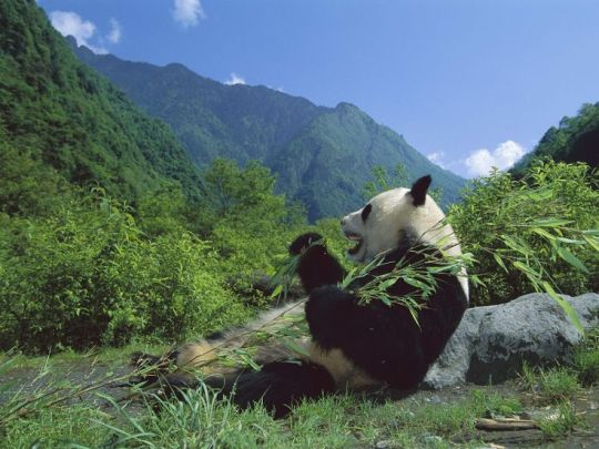 Panda Eating Sugar Cane Relaxing