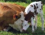 Cow Mother Motherhood Child