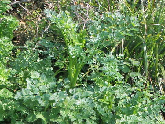 Lovage Plants Foraging