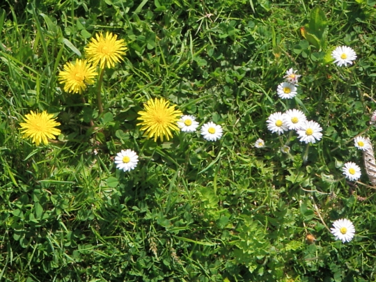 Dandelions Daisies Plants Edible