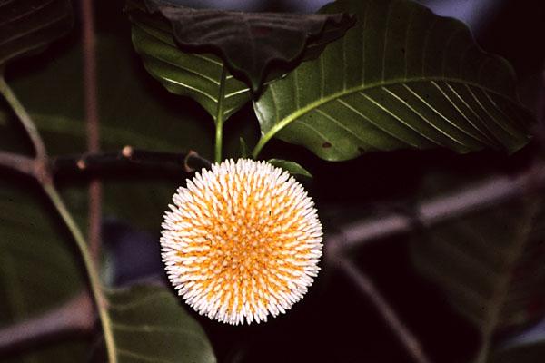 kadamba flower