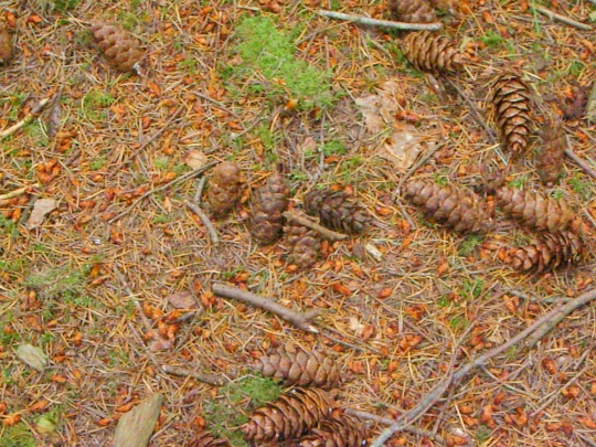 Trees, Pine Cones, Pine Nuts, Nature