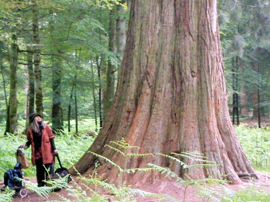 Redwoods, Trees, Communing with Nature