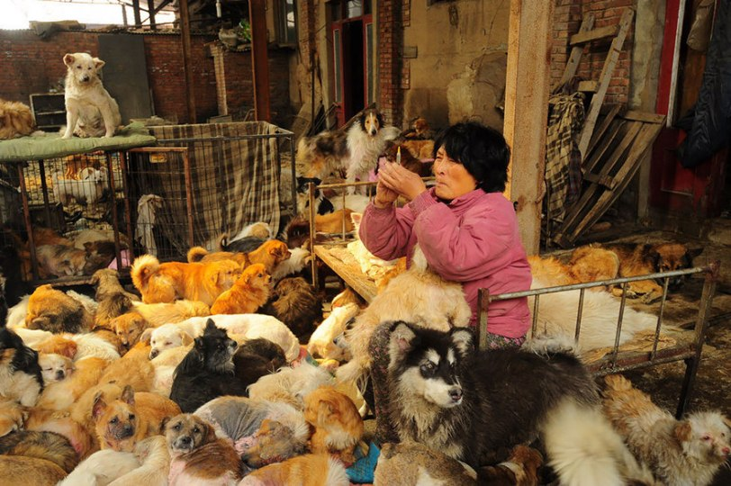 Yang Xiaoyun Teacher Saves Dogs Yulin Meat Festival 5