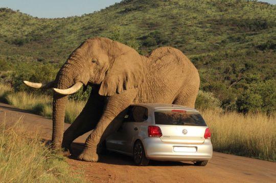 Elephant sits on car