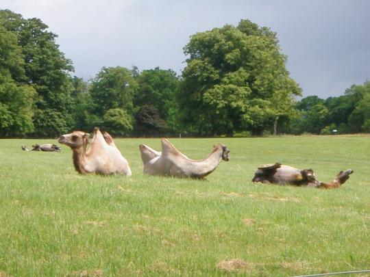 Safari Camels