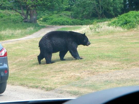 Safari Black Bears