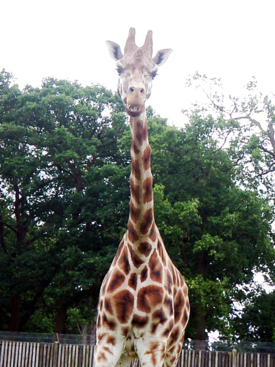 Safari Giraffs
