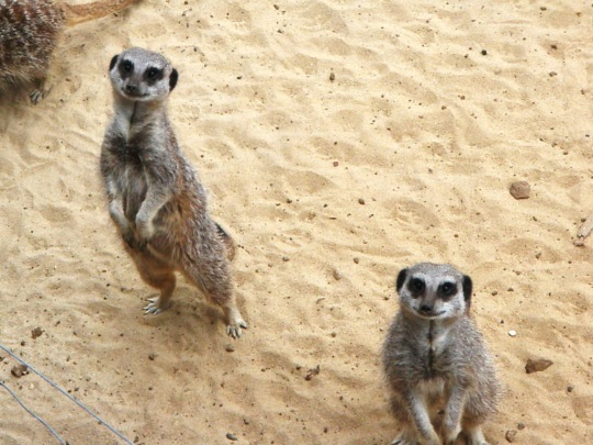 Safari Meerkats