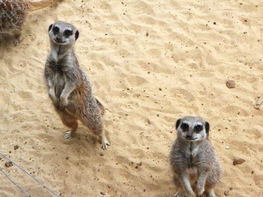 Safari Meerkats
