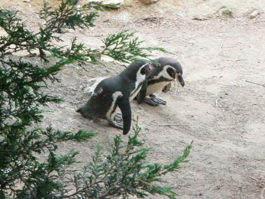 Safari Penguins