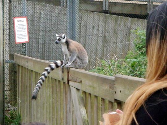 Safari Lemurs